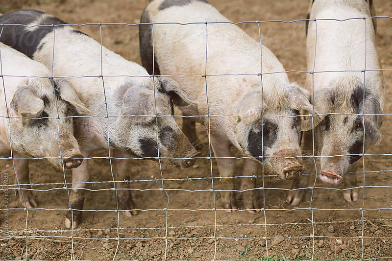 Domestic pigs behind a fence by Gabriel Tichy for Stocksy United