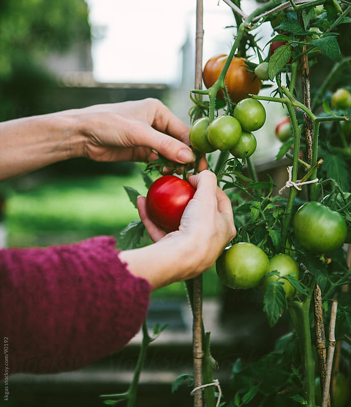 Gardener picking homegrown tomatoes  by kkgas for Stocksy United