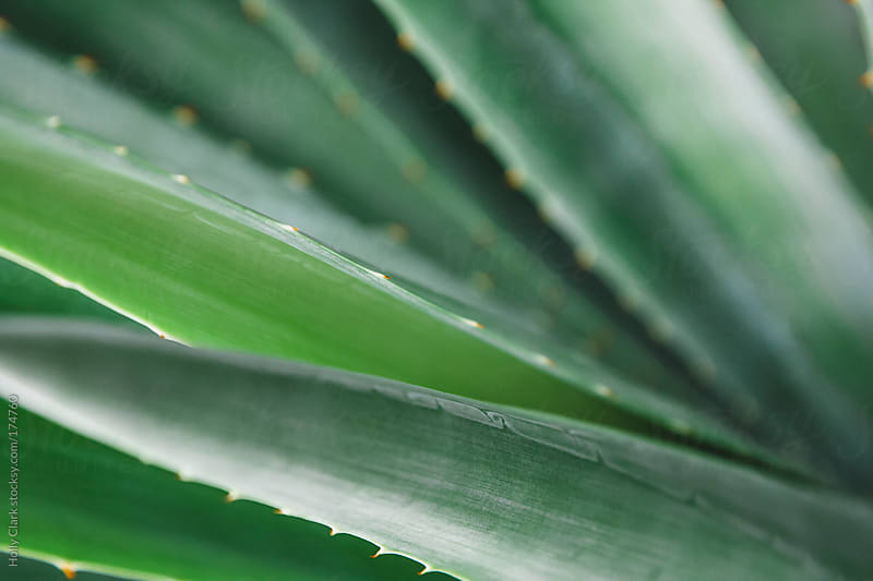 Closeup of Aloe leaves by Holly Clark for Stocksy United