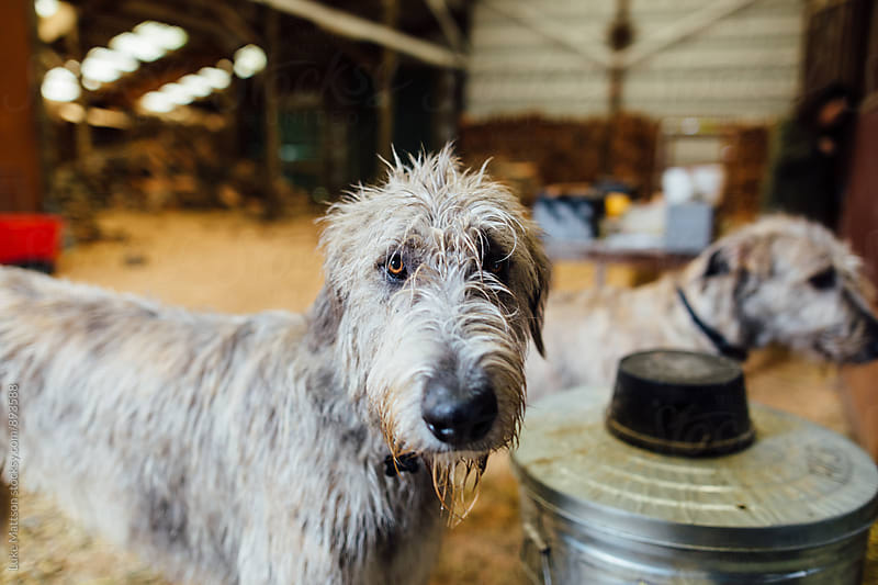 Irish Wolfhound Looking At Camera by Luke Mattson for Stocksy United