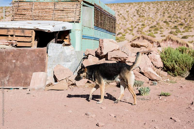 Dog in a small village around San Pedro de Atacama, north Chile. by Mauro Grigollo for Stocksy United