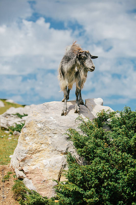 Goat on the mountain ridge by Zocky for Stocksy United