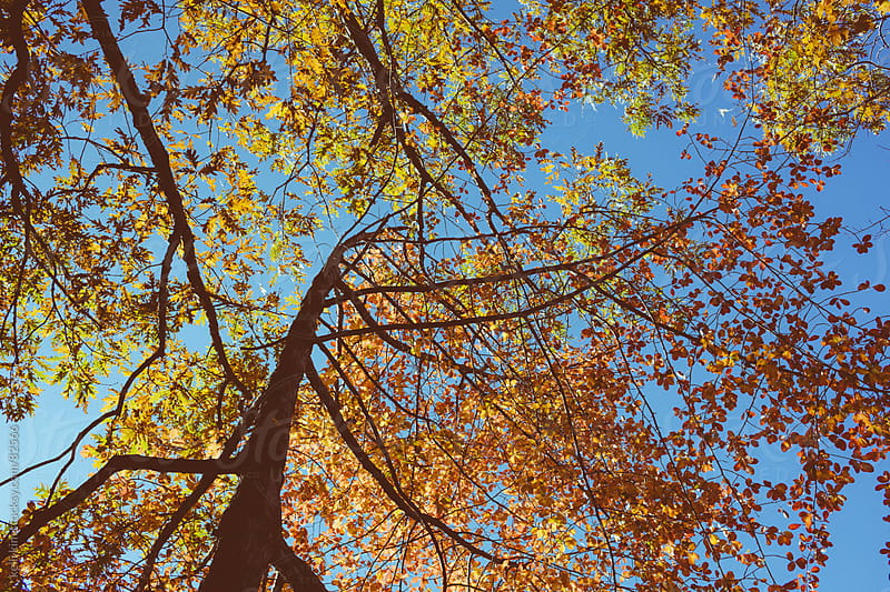 Trees With Brightly Colored Fall Foliage Against Blue Sky by kelli kim for Stocksy United