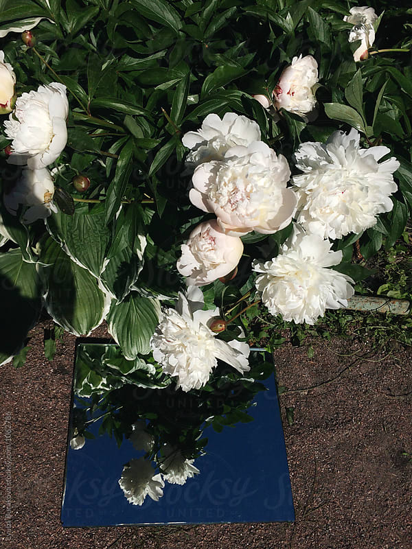 White peonies at the garden by Lyuba Burakova for Stocksy United