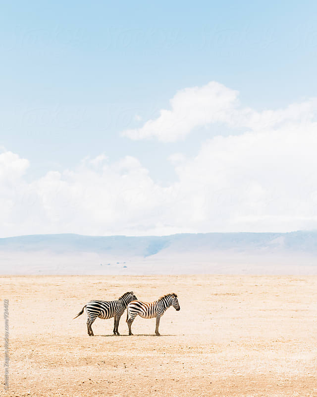 two zebras standing in Ngorongoro Crater Conservation Area, Tanzania by Cameron Zegers for Stocksy United
