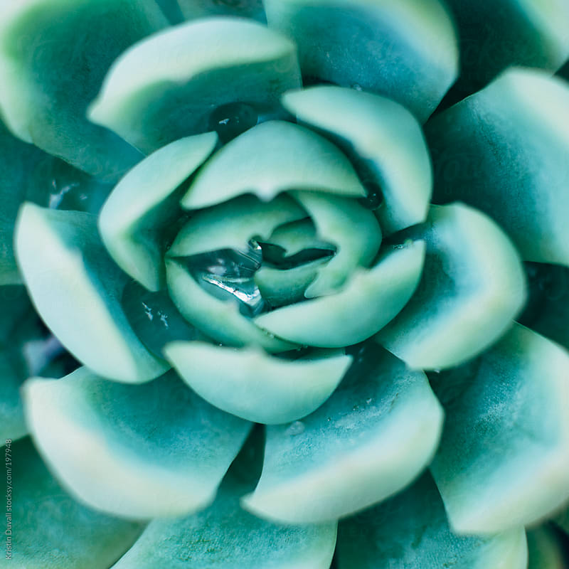 Water drops on succulent plant by Kristin Duvall for Stocksy United