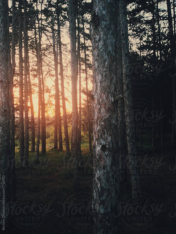 Pine Forest At Sunset by Borislav Zhuykov for Stocksy United