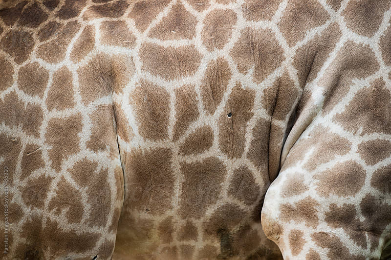 giraffe fur by Pansfun Images for Stocksy United
