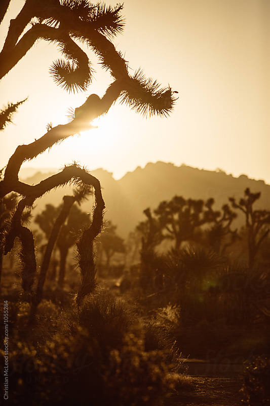 Joshua Tree. by Christian McLeod for Stocksy United