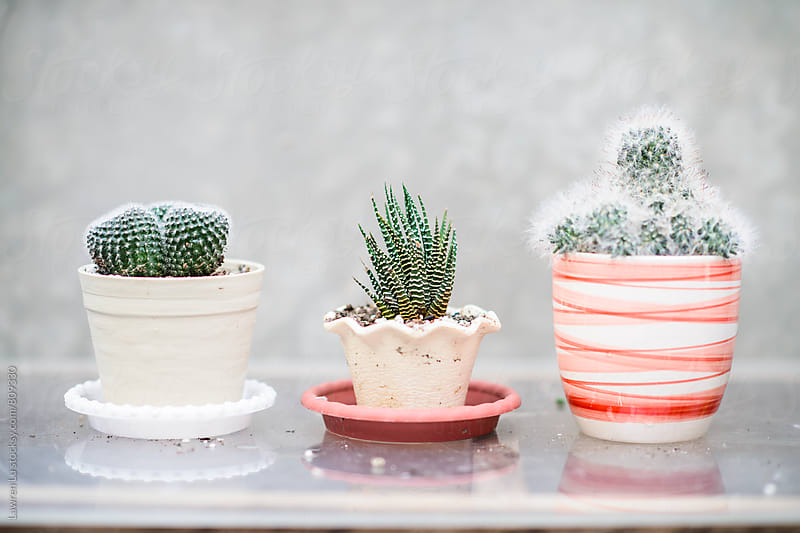 Green cactus plants in various pots by Lawren Lu for Stocksy United