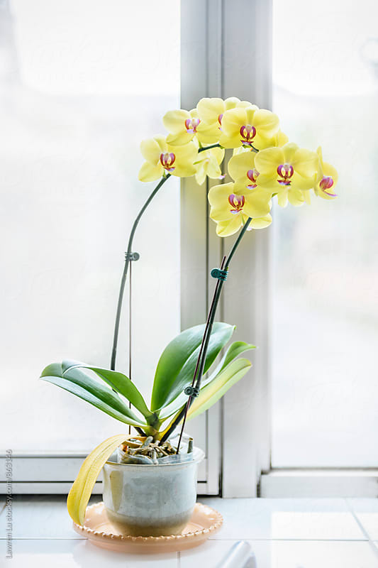 Yellow orchid beside white windowsill by Lawren Lu for Stocksy United