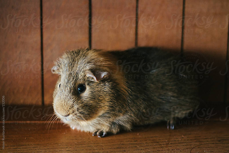 A brown and tan guinea pig by Helen Rushbrook for Stocksy United
