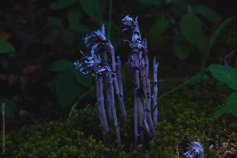 Indian pipe flower in forest by Tari Gunstone for Stocksy United