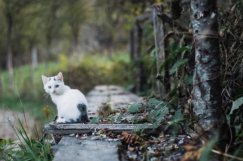 Cute white kitten sitting on the small wooden bridge. by Jovo Jovanovic for Stocksy United