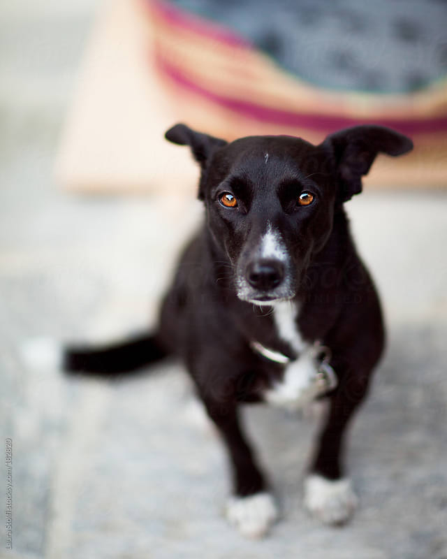 Soulful dog sitting looks straight at camera by Laura Stolfi for Stocksy United