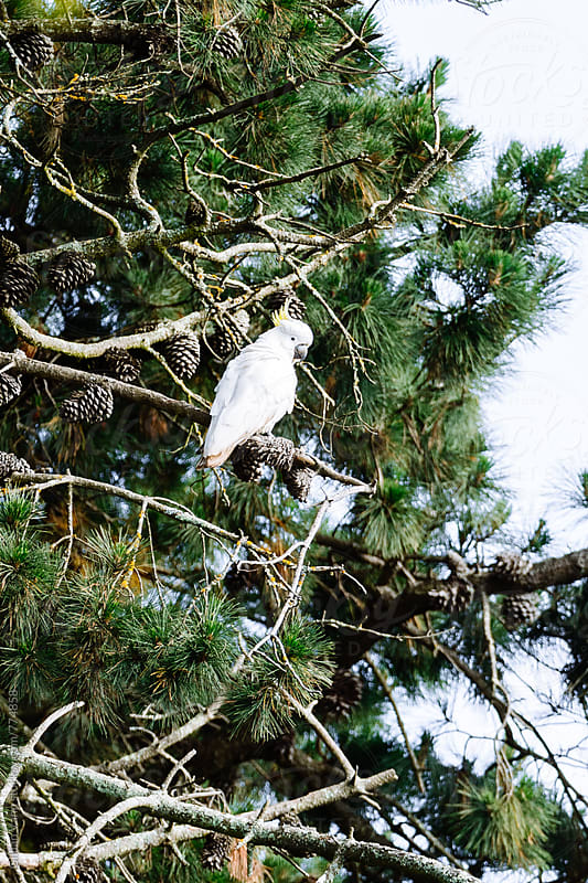 sulphur crested white cockatoo in pine trees by Gillian Vann for Stocksy United