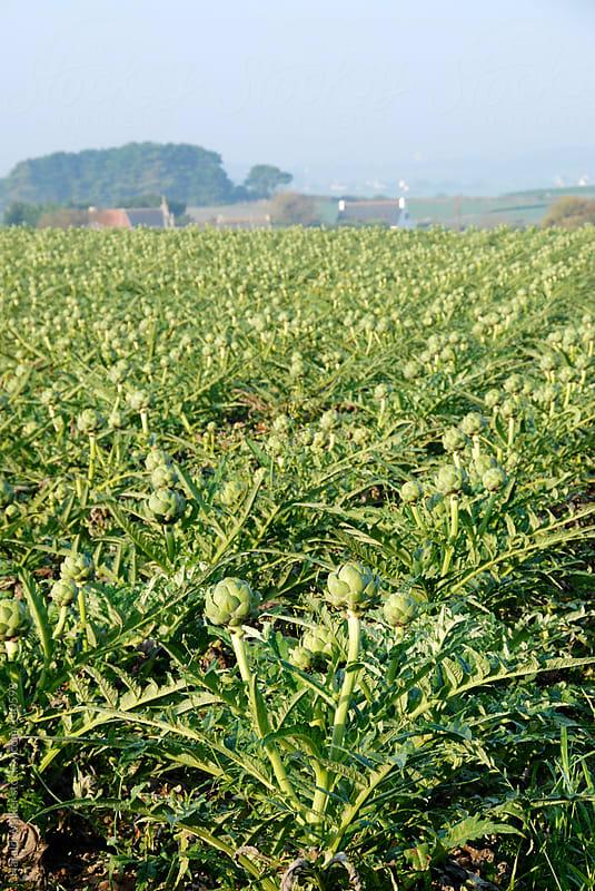 Artichoke field by Harald Walker for Stocksy United