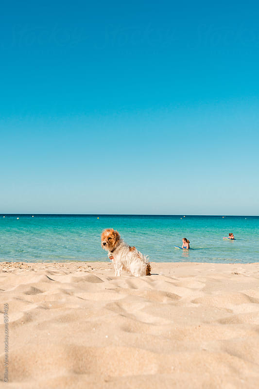 a dog waits patiently on the sand while the children swim by Gillian Vann for Stocksy United