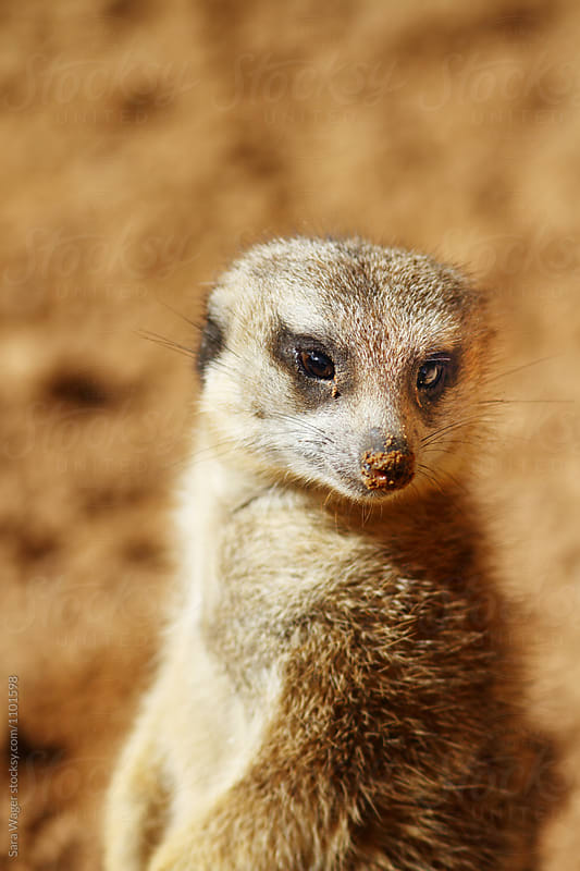 A solitary meerkat looking downwards by Sara Wager for Stocksy United