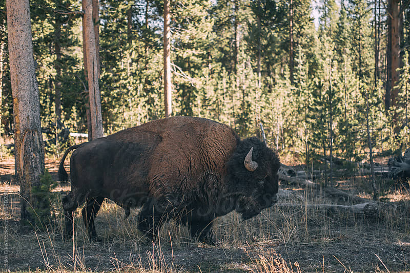 Buffalo Close Up by Jake Elko for Stocksy United