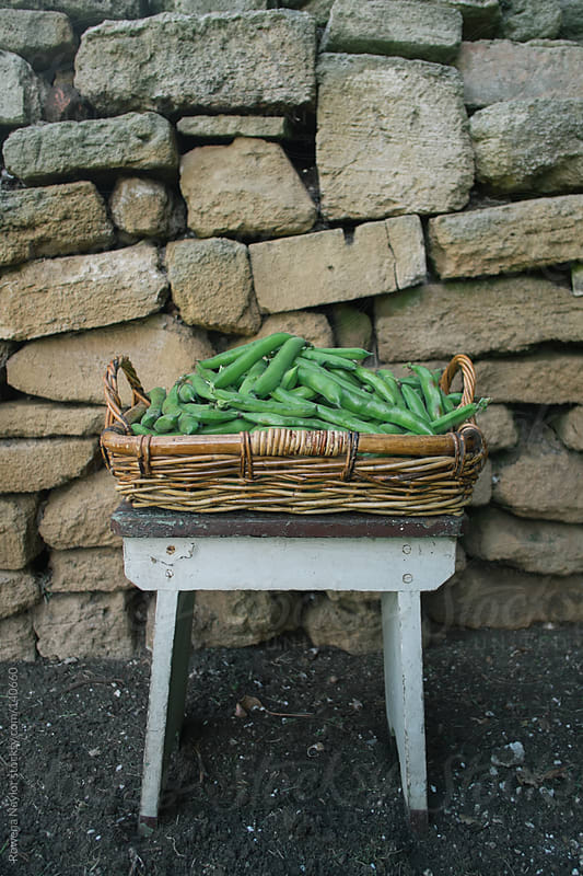 Organic Broad Beans Just Harvested by Rowena Naylor for Stocksy United