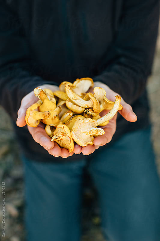 hands holding wild edible chanterelle mushrooms by Cameron Zegers for Stocksy United