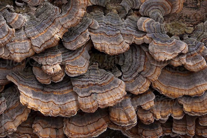 Closeup of turkey tail (Trametes versicolor) polypore mushroom at Muscatatuck Refuge, Indiana by Ron Mellott for Stocksy United