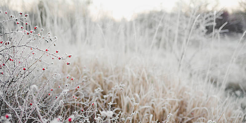 Frosted red rose-hips in winter by Rob and Julia Campbell for Stocksy United