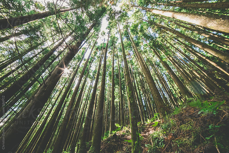 Large trees in a forest by Chris Zielecki for Stocksy United