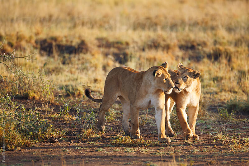 Two Lioness  in Africa's Serengeti National Park by Paul Tessier for Stocksy United