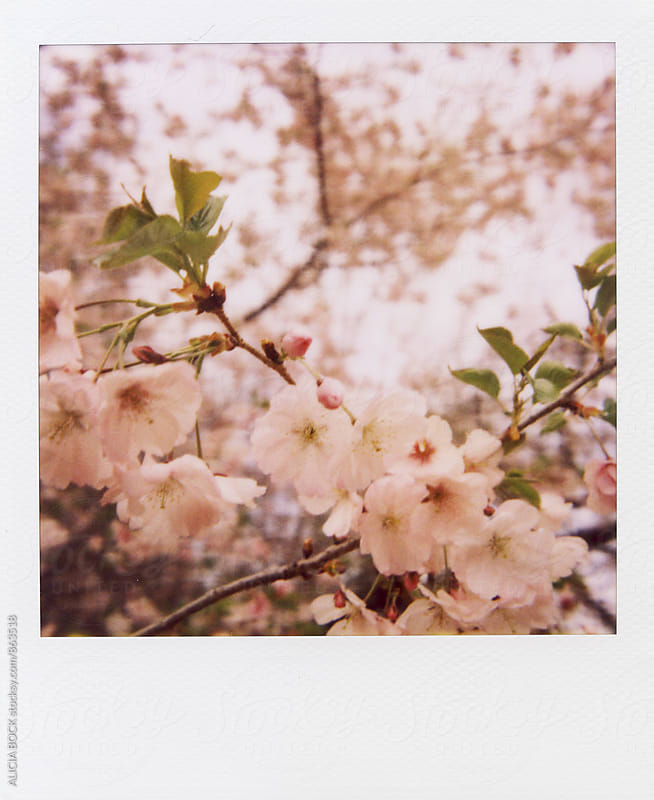 Polaroid Of Light Pink Cherry Blossoms On A Spring Day by ALICIA BOCK for Stocksy United