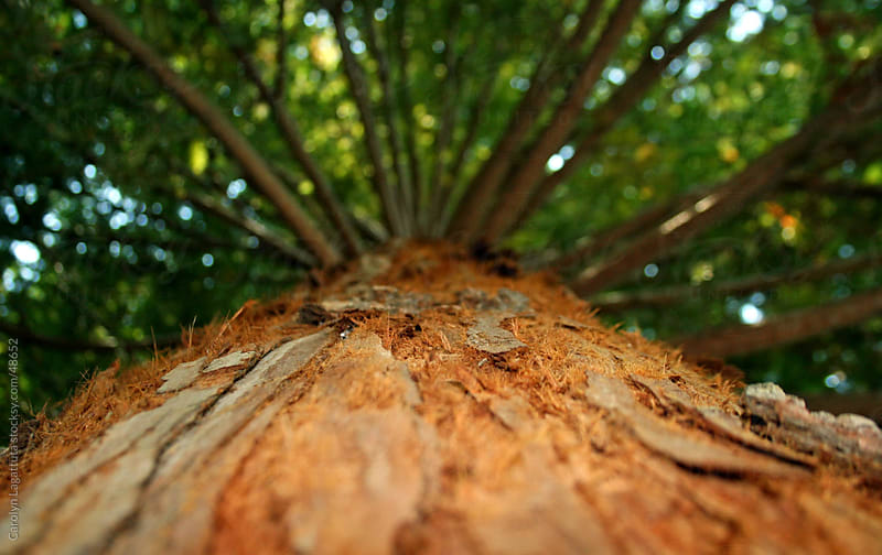 View of a redwood tree from the ground - up against the bark by Carolyn Lagattuta for Stocksy United