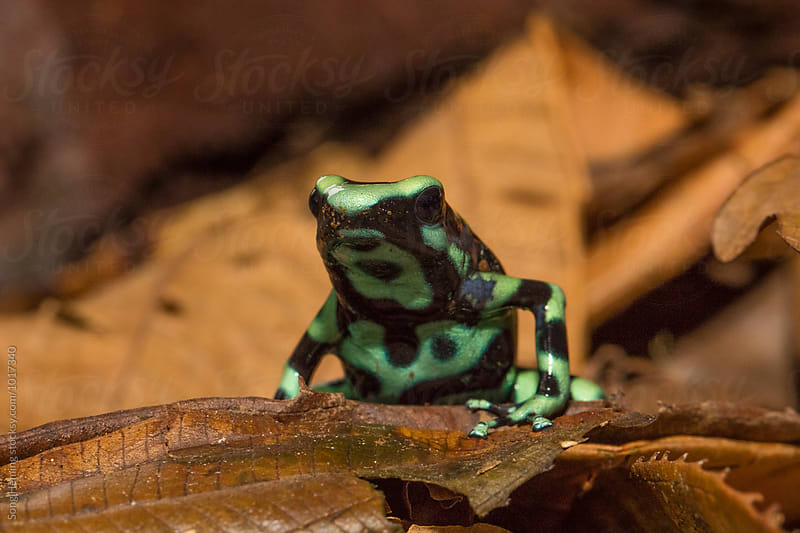 Portrait of green and black poison dart frog standing on the  dead leaves by Song Heming for Stocksy United