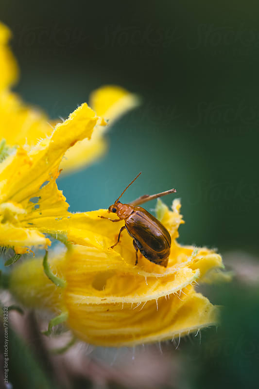 Leaf beetle eating cucumber flower by zheng long for Stocksy United