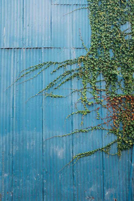 Vine on painted blue wall by Paul Edmondson for Stocksy United