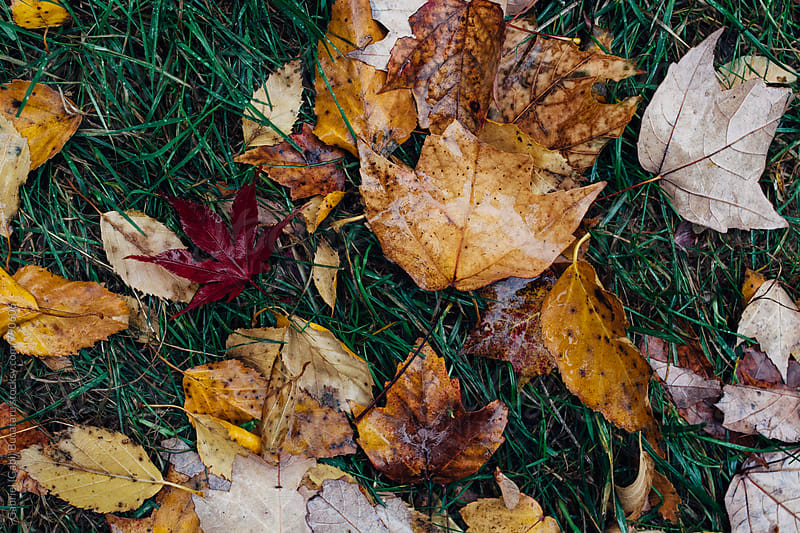 Wet fall leaves in the grass by Gabriel (Gabi) Bucataru for Stocksy United