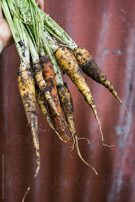 Organic heirloom carrots just harvested with dirt still on them by Rowena Naylor for Stocksy United
