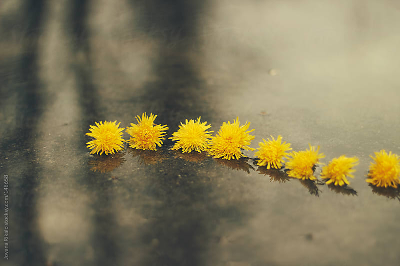 Dandelions in a puddle by Jovana Rikalo for Stocksy United