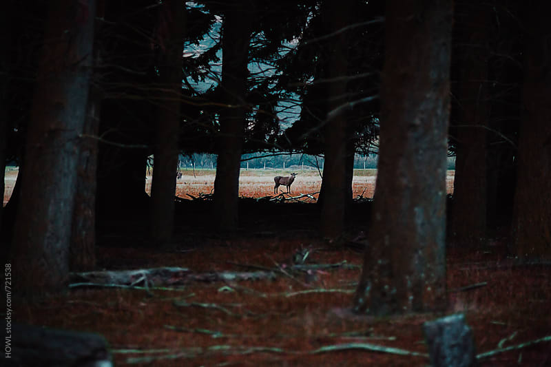 A lone animal stands looking through the trees by HOWL for Stocksy United