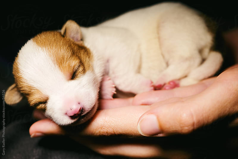 Weeks old Jack Russell Puppy by Gary Radler Photography for Stocksy United