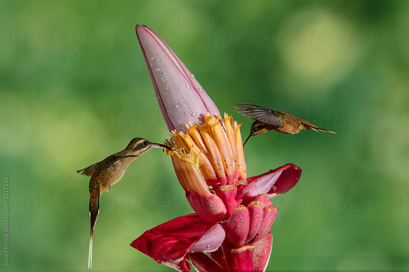 Two hummingbirds fly to the flower to eat nectar by Song Heming for Stocksy United