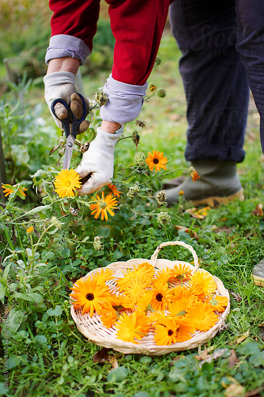 Cutting calendula flowers by Harald Walker for Stocksy United
