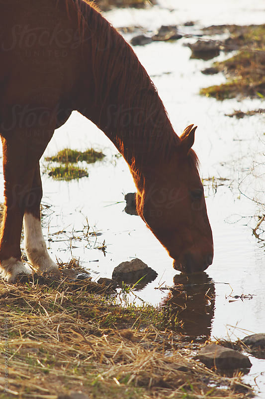 A horse drinks from a creek by Tana Teel for Stocksy United