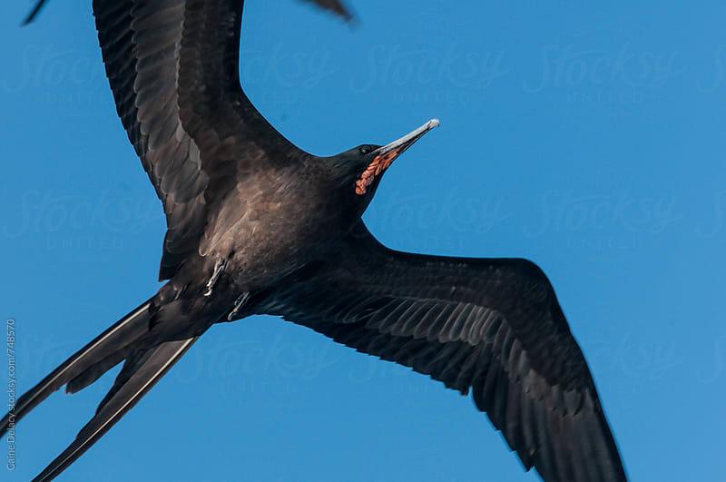 Firgate bird flying diagonally across frame by Caine Delacy for Stocksy United
