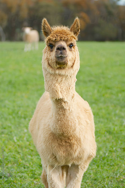 Alpaca Staring At The Camera by Adrian Young for Stocksy United
