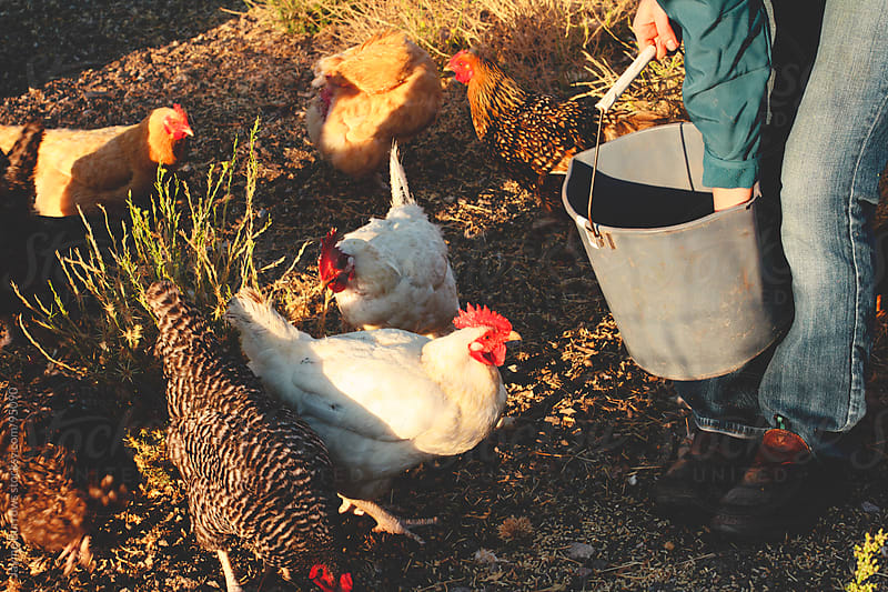 Farm Chickens by Jayme Burrows for Stocksy United