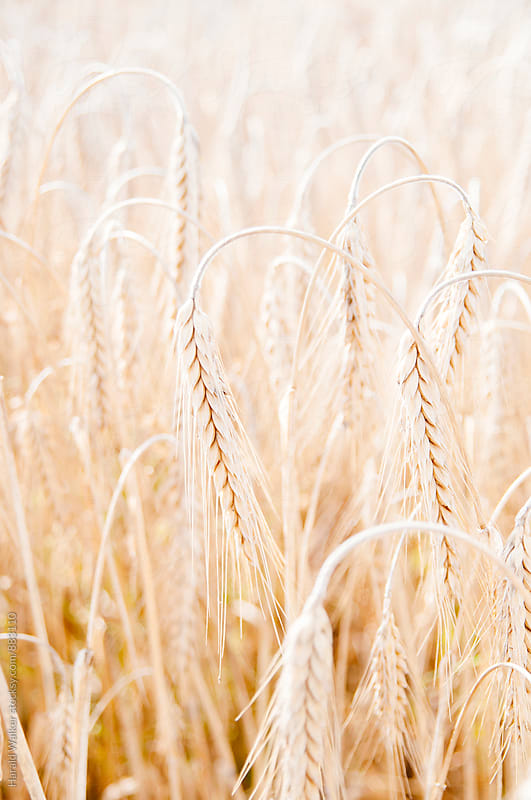 Shot wheat by Harald Walker for Stocksy United