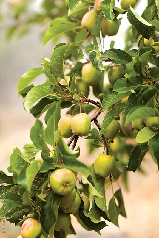 Mini Apples Growing in Orchard by Sara Remington for Stocksy United