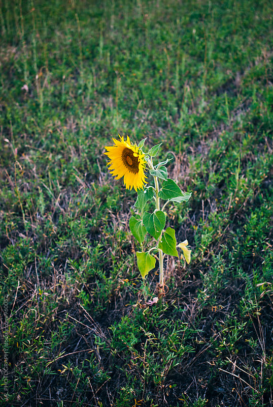 Sunflower by J.R. PHOTOGRAPHY for Stocksy United