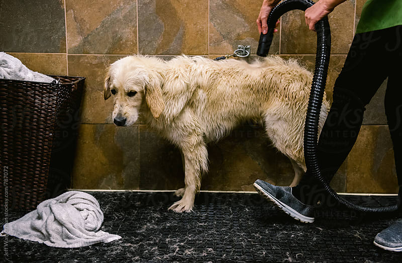 Dog Getting Dried After Wash by Jeff Wasserman for Stocksy United